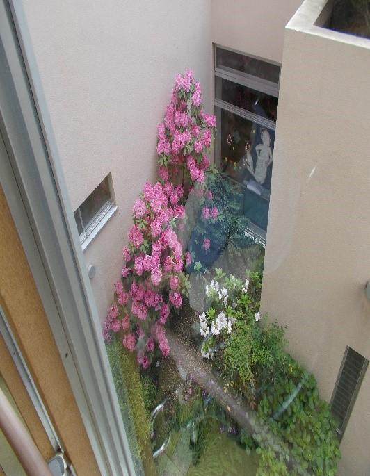 総和苑の中庭に咲く満開のシャクナゲ