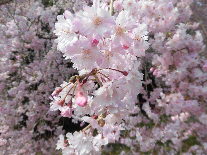 桜を見に外出