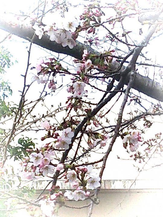🌸 総和苑でも開花宣言 🌸