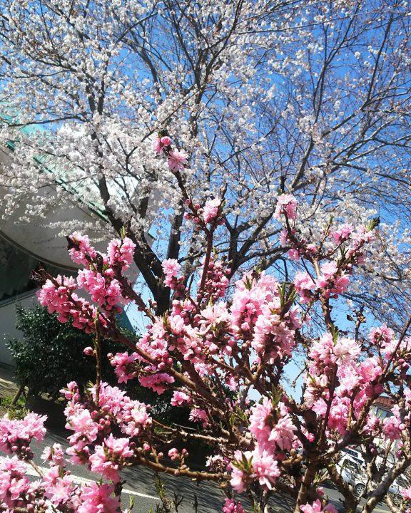 桜がとっても綺麗ですよ~~~🌸
