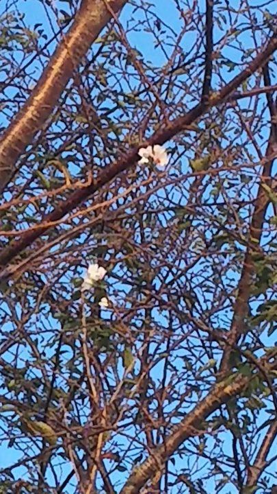 あれっ?桜が咲いてる??