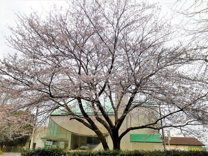 今年も綺麗に桜が咲きましたが・・・